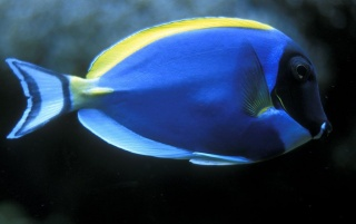 Blue Fish wallpapers and stock photos