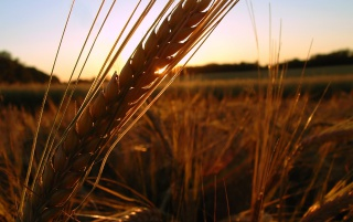 Winter Wheat wallpapers and stock photos