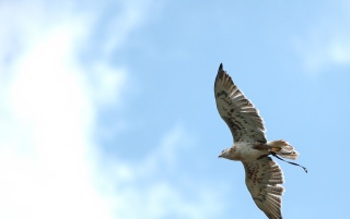 Hawk on sky wallpapers and stock photos