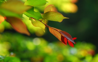 Red Green Leaf wallpapers and stock photos