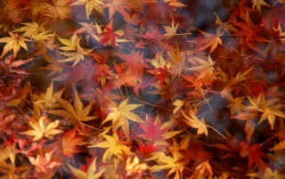 Red Leafs wallpapers and stock photos