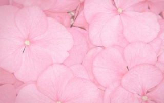 Pink petals wallpapers and stock photos