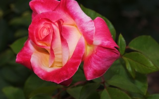 Bright Rose wallpapers and stock photos