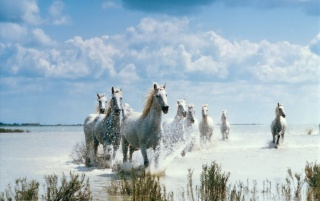 White Horses wallpapers and stock photos