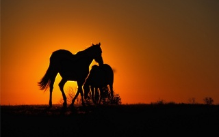 Sunset Horses wallpapers and stock photos