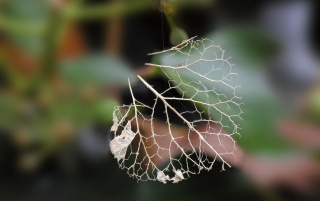 Leaf Bones wallpapers and stock photos