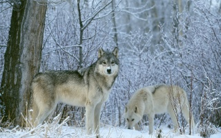 Winter Wolfes wallpapers and stock photos