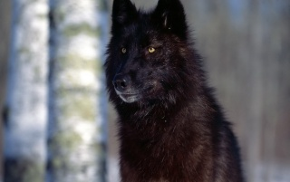 Black Wolf wallpapers and stock photos