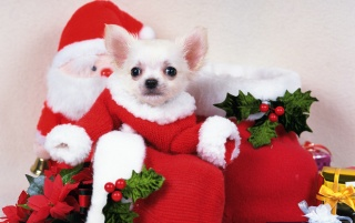 Santa Puppy Dog wallpapers and stock photos