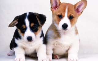 Two Little Dogs wallpapers and stock photos