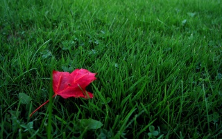 Red leaf on grass wallpapers and stock photos