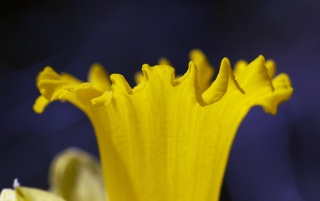 Daffodil Trumpet wallpapers and stock photos