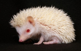 Random: Little Hedgehog