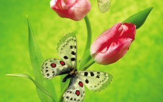 Tulip Butterfly wallpapers and stock photos