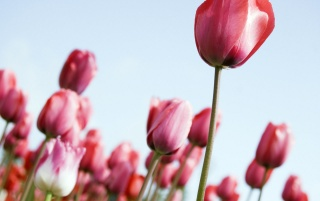 Tulips wallpapers and stock photos