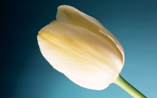 Cream Tulip wallpapers and stock photos