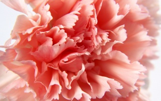 Macro Carnation wallpapers and stock photos
