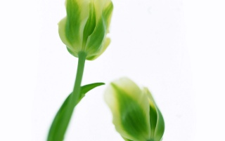 Green Tulips wallpapers and stock photos