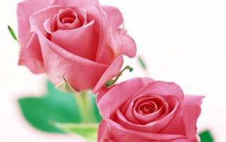 Roses on White wallpapers and stock photos