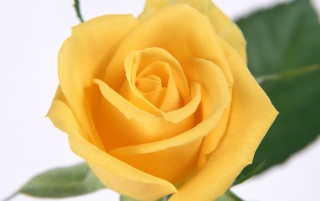 Yellow Rose wallpapers and stock photos