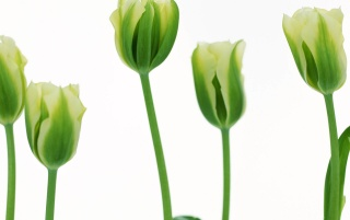 More Green Tulips wallpapers and stock photos