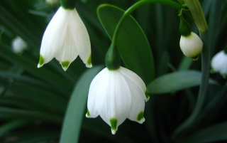 Bell Snowdrops wallpapers and stock photos