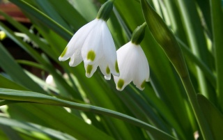 Quiet Snowdrops wallpapers and stock photos
