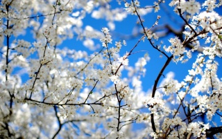 Blossoms and Blue wallpapers and stock photos