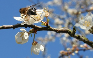 Bee on Spring wallpapers and stock photos