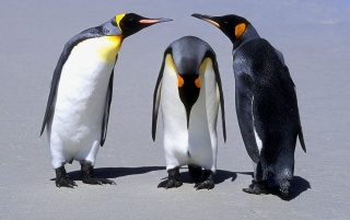 Los pingüinos de la reunión wallpapers and stock photos