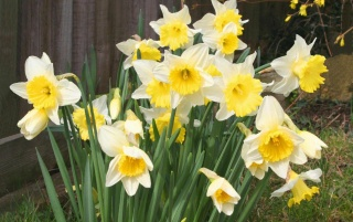 Previous: Spring Daffodils