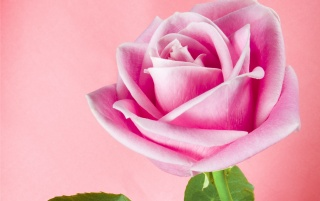 Pink Shadow Rose wallpapers and stock photos