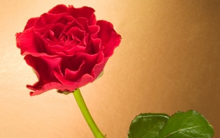 Curly Red Rose wallpapers and stock photos
