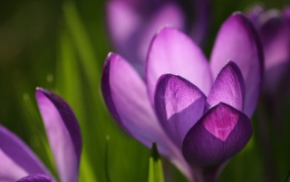 Crocus Spring wallpapers and stock photos