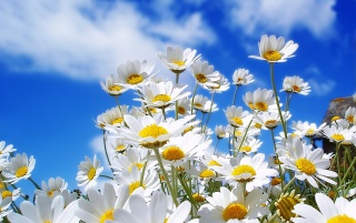 Spring Daisy wallpapers and stock photos