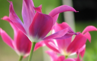 Open Tulips wallpapers and stock photos