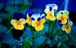 Pansies wallpapers and stock photos