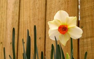 Easter Daffodil wallpapers and stock photos