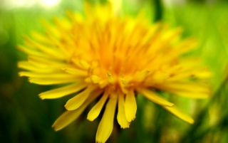 Sweet dandelion wallpapers and stock photos