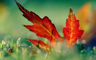 Red leaf in the grass wallpapers and stock photos