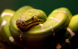 Green snake wallpapers and stock photos