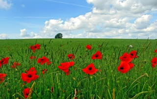 Poppy flowers on field wallpapers and stock photos