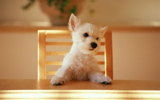 Dog at the table wallpapers and stock photos