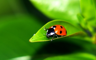 Ladybug on a leaf wallpapers and stock photos