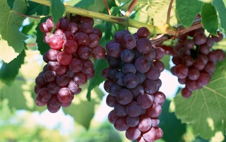 Fresh grapes wallpapers and stock photos