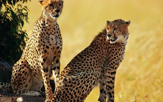 Cheetah brothers wallpapers and stock photos