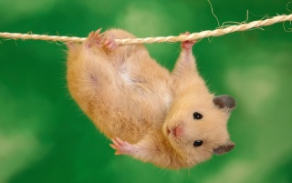 Hanging hamster wallpapers and stock photos