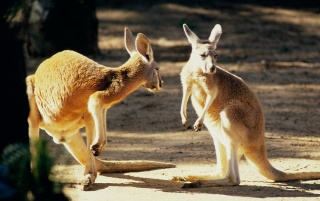 Next: Kangaroo talk