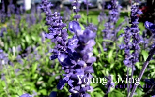 Young Living wallpapers and stock photos