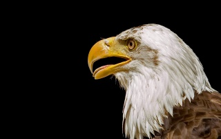 Bald eagle head wallpapers and stock photos